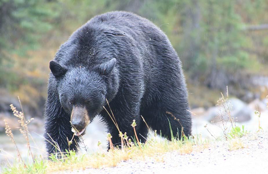 Zwarte beer die door het gras loopt