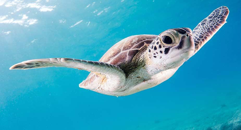 Zwemmende schildpad in zee bij Bonaire