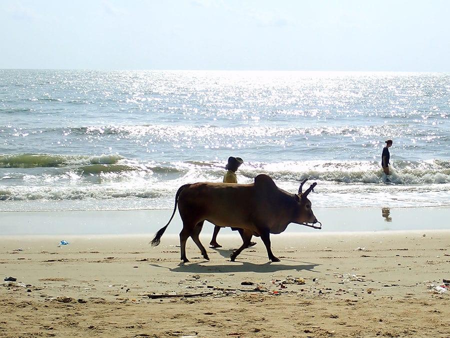 Koe aan de kust Thailand