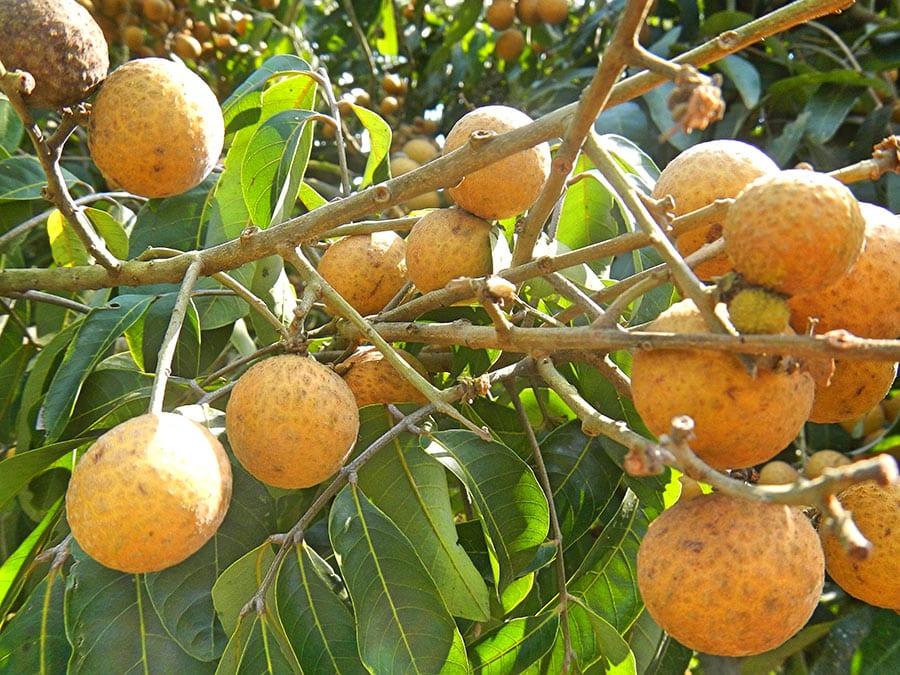 Longanfruit