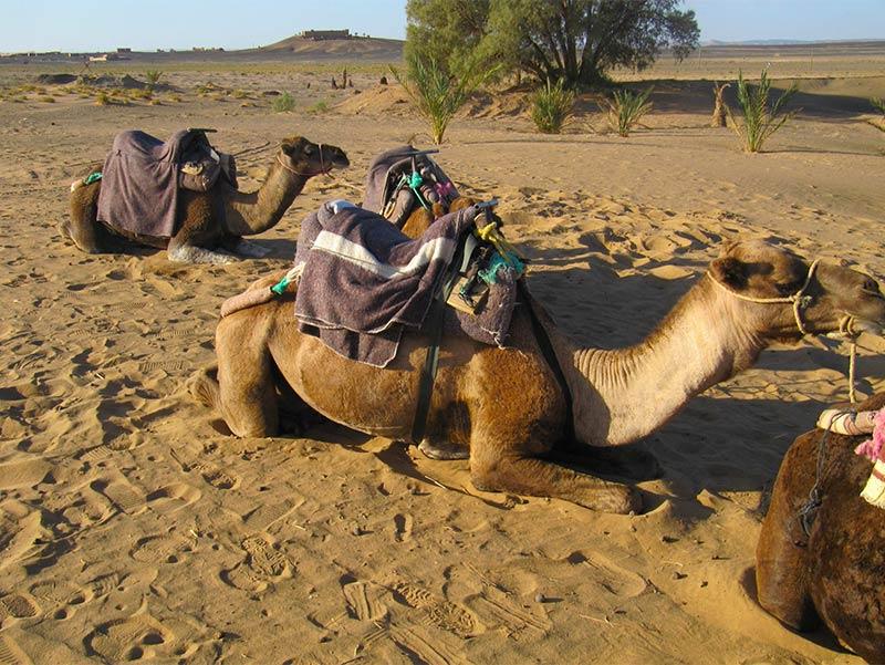 Kamelen en dromedarissen in Marokko