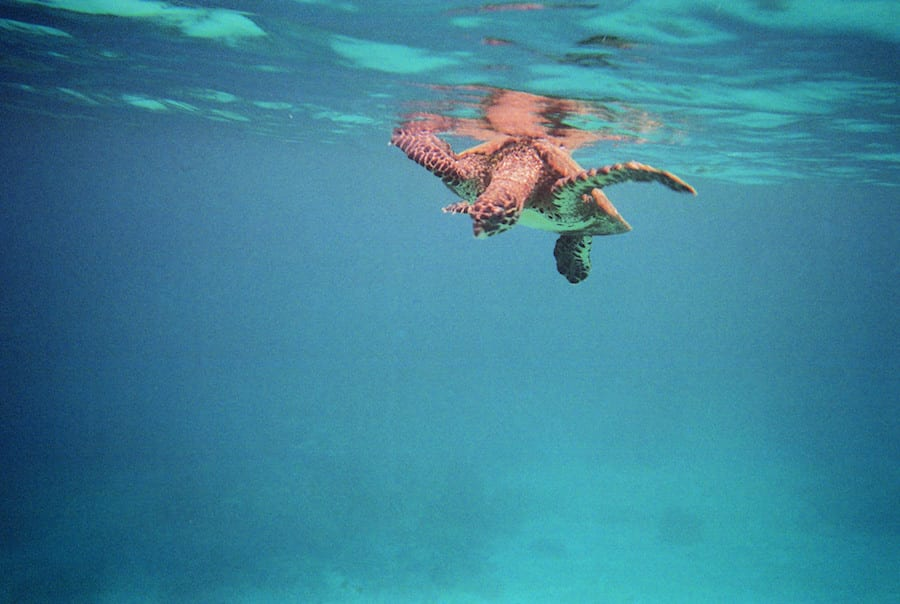 Madagaskar schildpad in zee
