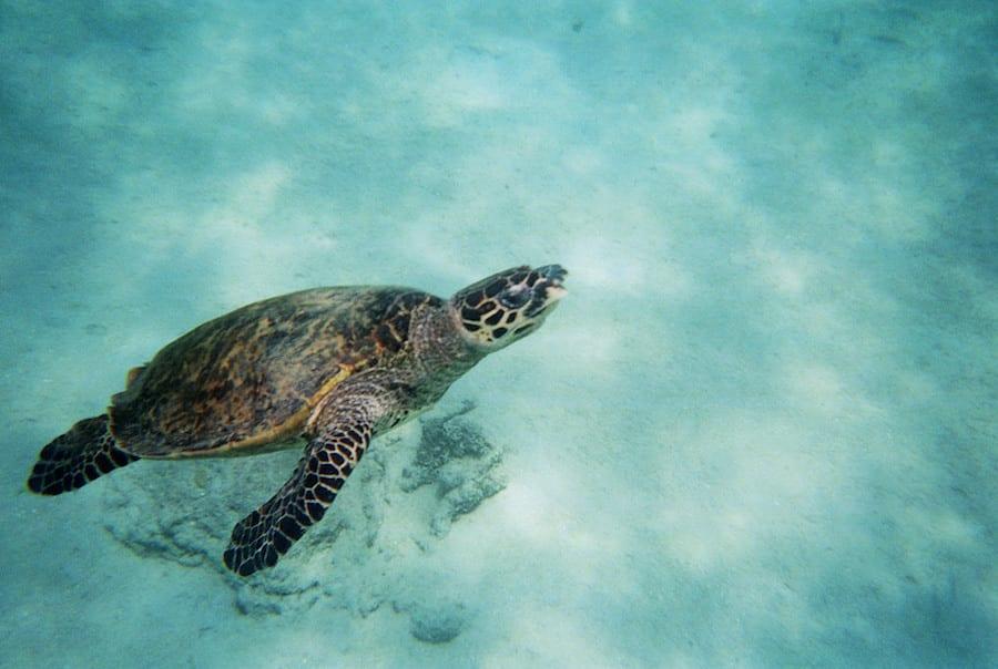 Als snorkelend zie je deze schildpadde bij Madagaskar