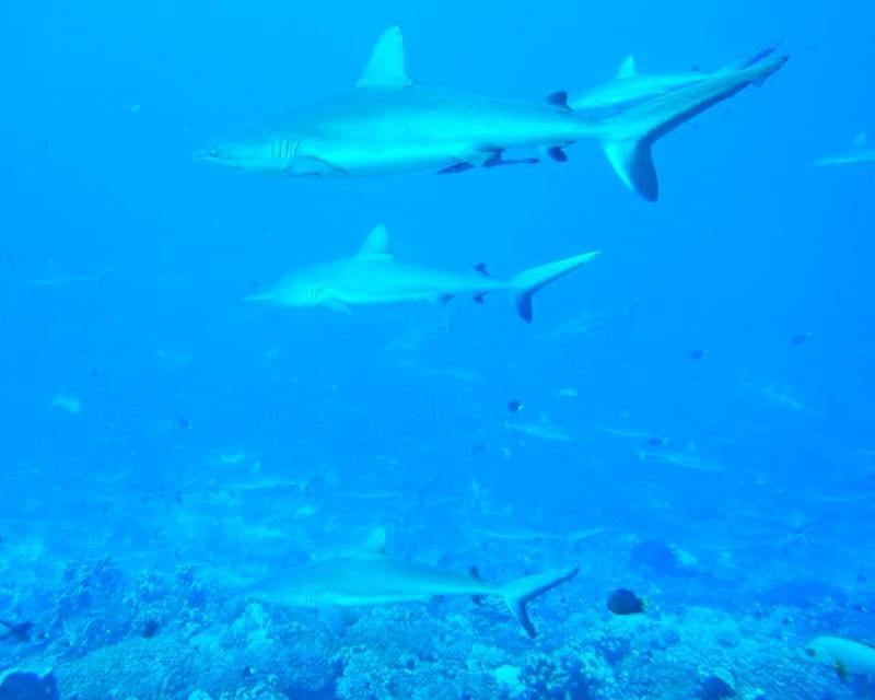 Haaien bij snorkelen Tuamotu archipel