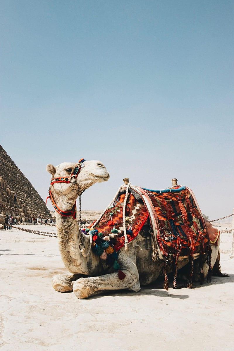 kameel in egypte