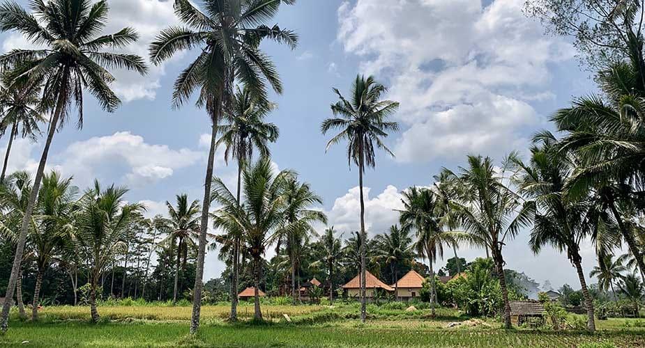 palmbomen bij velden