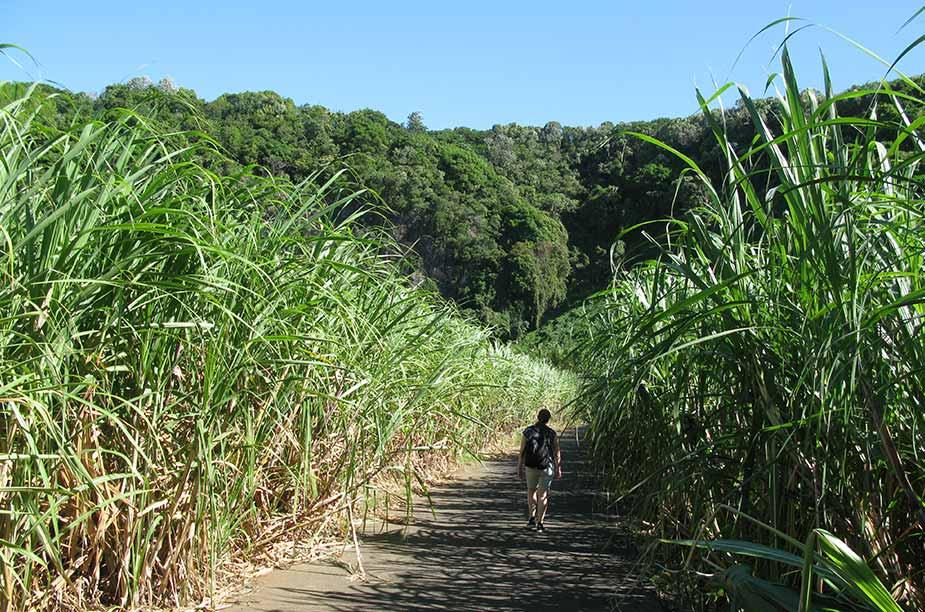 Rietsuikerplantages in het noorden van La Réunion