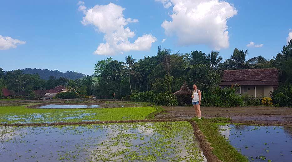 Manon tussen de sawa's bij Kalibaru op Java