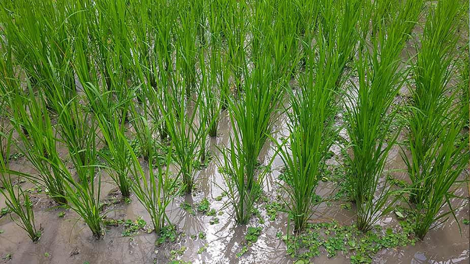 Rijst in een rijstveld bij Kalibaru