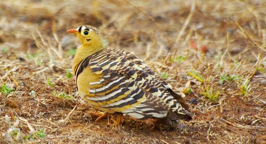 De bijzondere vogelsoort bonte frankolijn in India