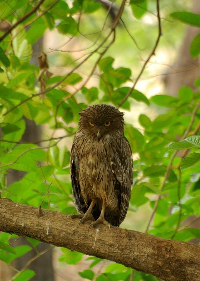 De bruine visuil in het park in India