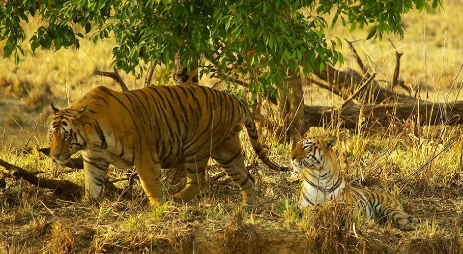 De tijgers Maya en Matkasur in het park in India