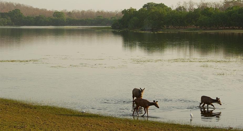 Herten in India lopen aan de rivierkant