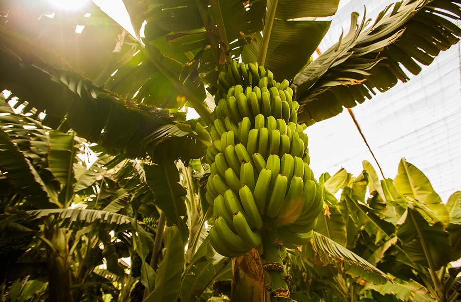 Bananenplantage op Tenerie