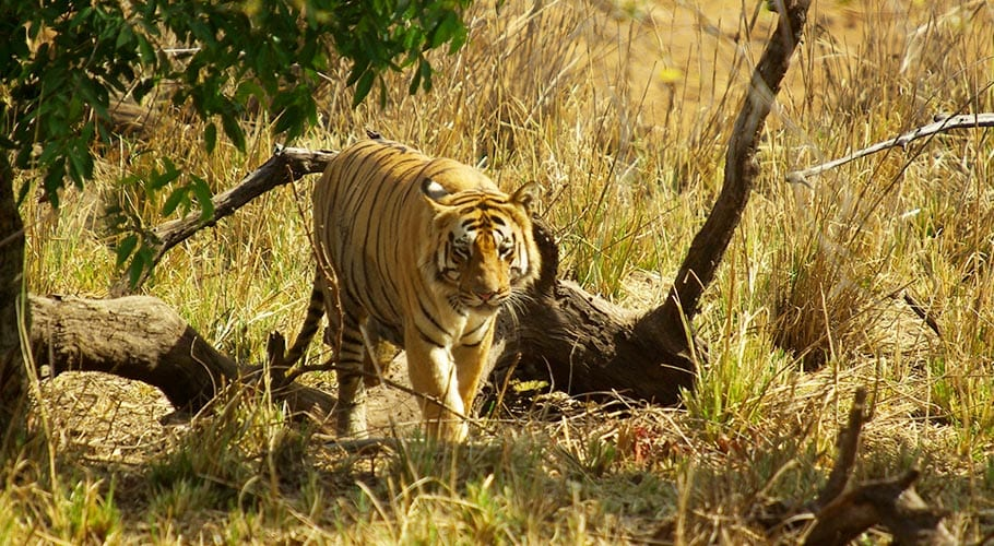 De mannelijke tijger in het tijgerhart in India
