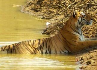 Tijger in India aan de rivierkant