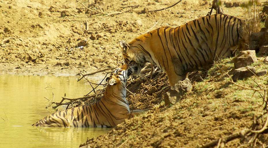 De tijgers knuffelen elkaar