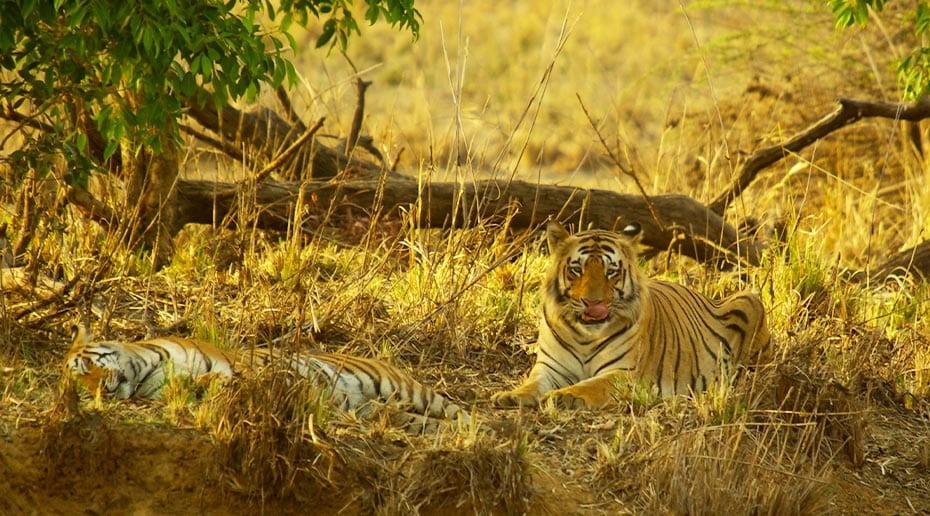 De tijgers aan het relaxen