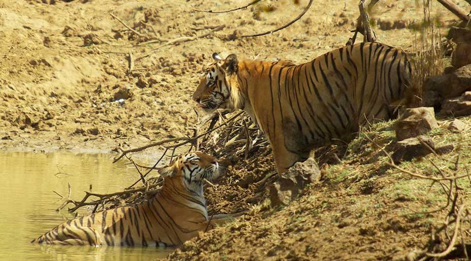 Een tijgerpaar in harmonie bij de oever van een rivier