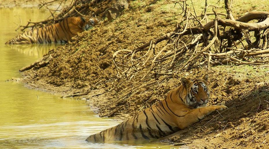 Tijgers Maya en Matkasur in in het water in India