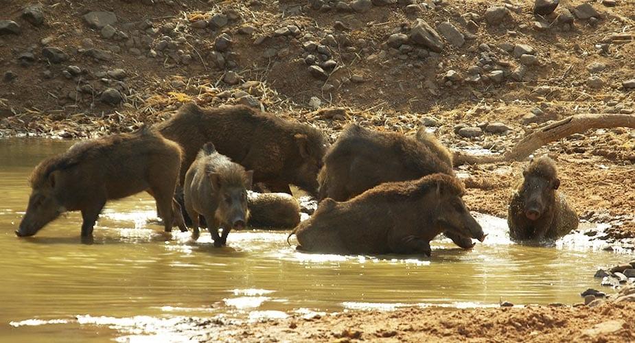 Een kudde wilde zwijnen vermaakt zich in het water