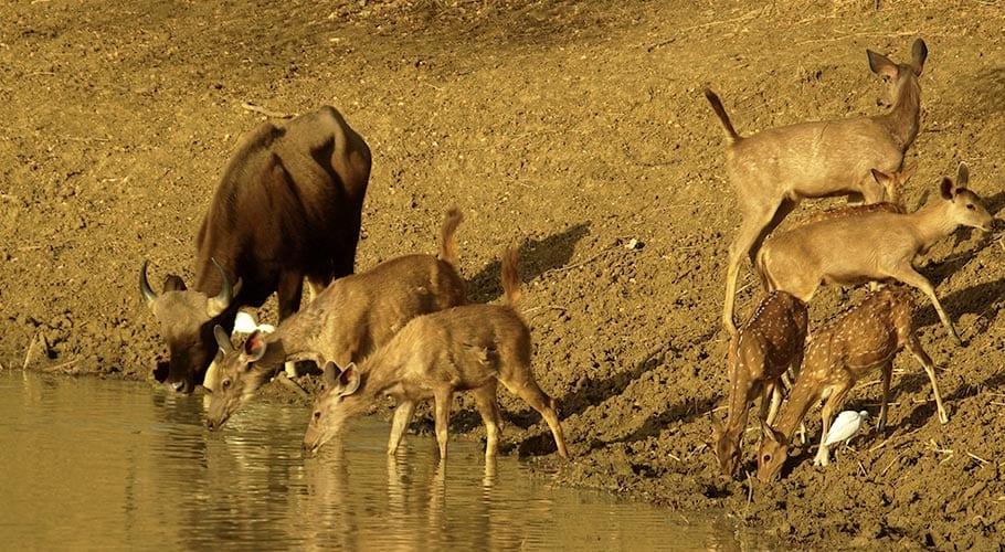 Verschillende wilde dieren bij de rivier, prooi voor de tijgers in India