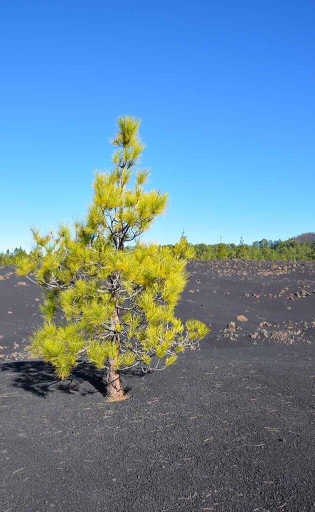 Alleenstaande boom in het lavalandschap bij de Teide op Tenerife