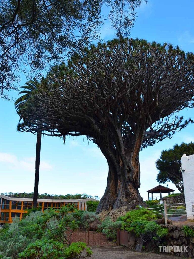 El Drago drakenboom Tenerife