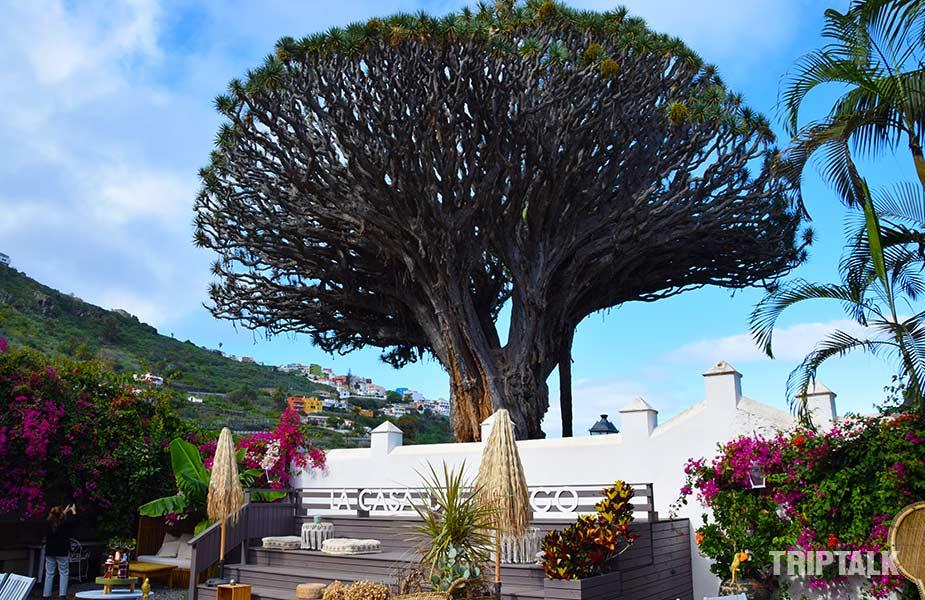 terras bij de drakenboom op Tenerife