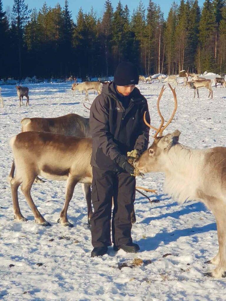 Rendieren in de sneeuw in Lapland
