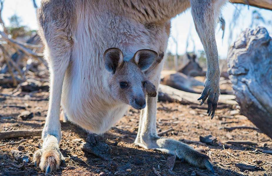 Baby kangaroe in de buidel in Australië