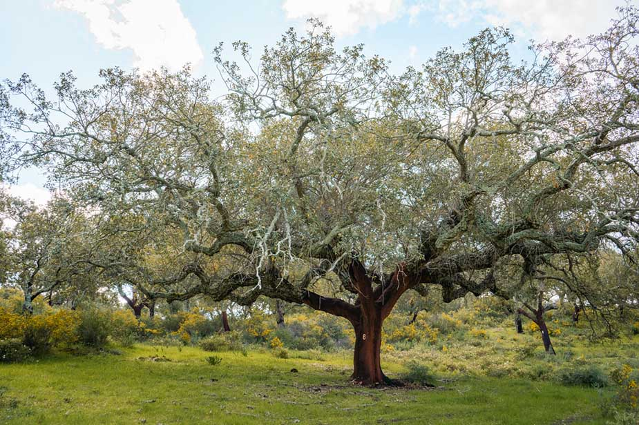 kurkbomen in portugal