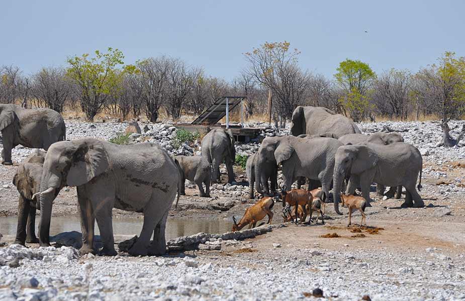 Olifanten in Namibie bij een drinkplaats