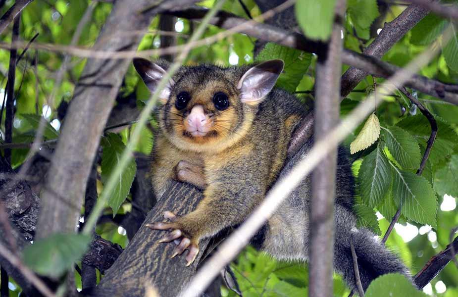 Een possum in de bomen