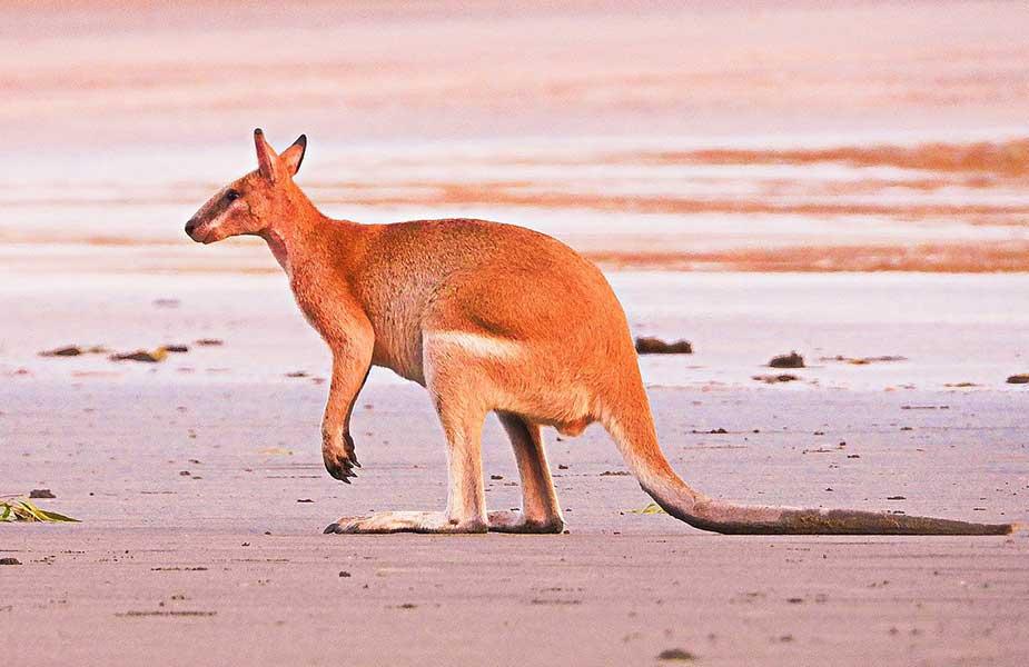 Een walleby op het strand in Australië