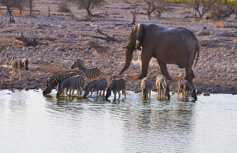 Zebra en olifanten drinken water in Namibië