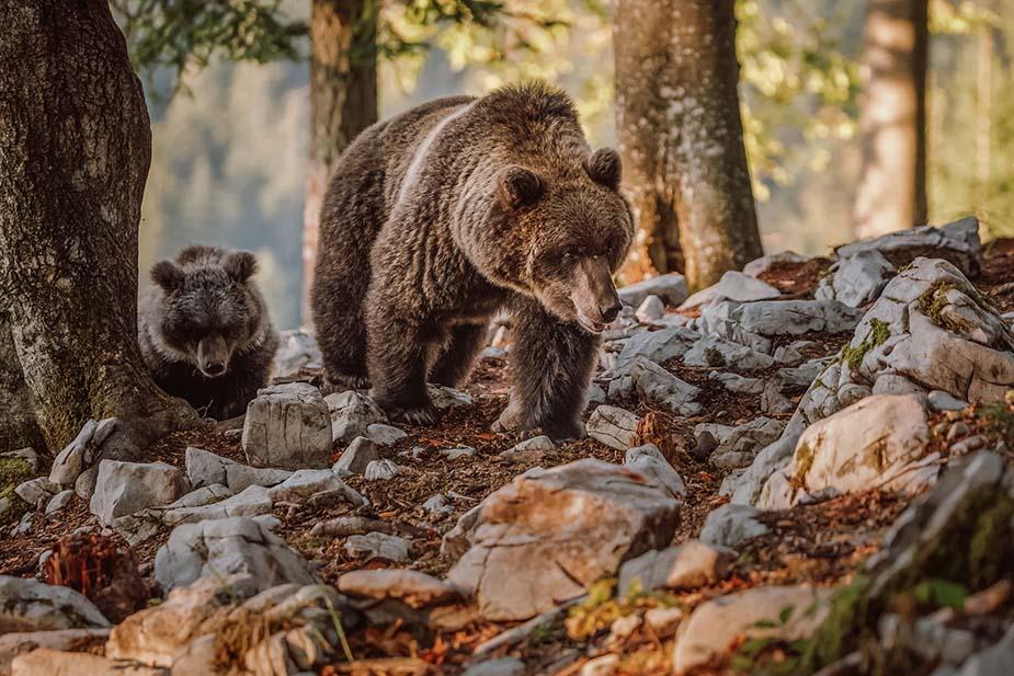 beren spotten doen in Slovenië