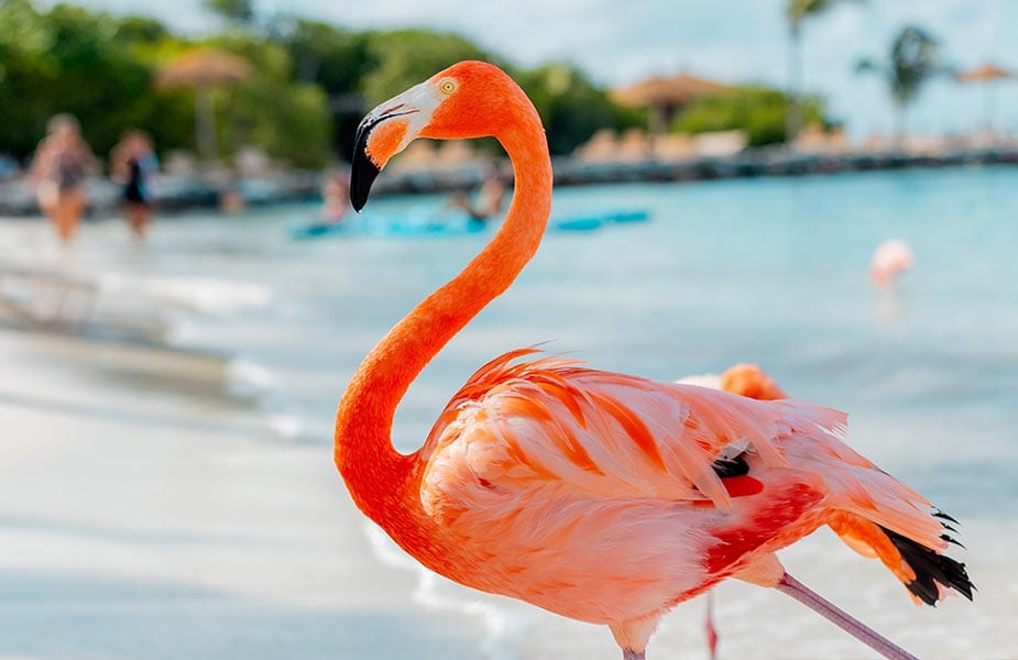 Flamingo op het prive eiland Renaissance beach op Aruba