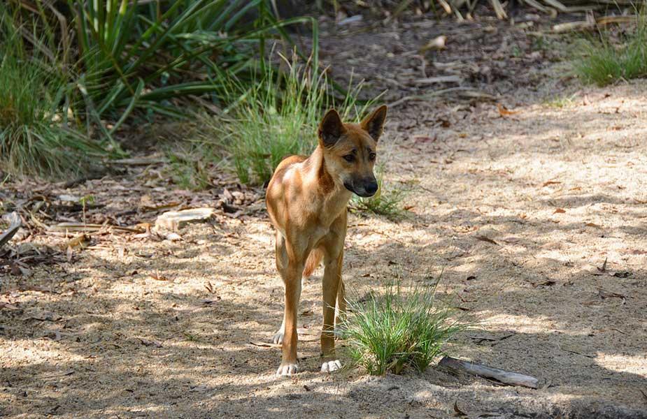 Een dingo in de natuur in Australie