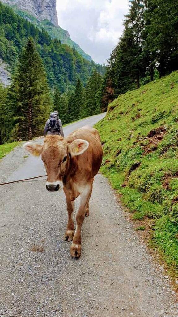 Koe op de weg naar de Seealpsee